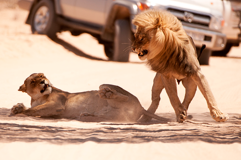 Lions of Kgalagadi by Nuria Blanco Arenas©