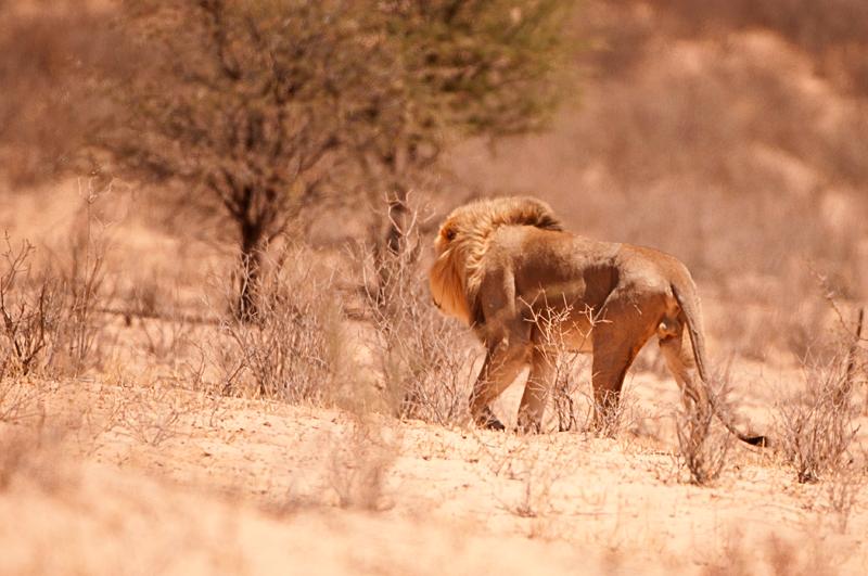 Lion of the Kgalagadi by Nuria Blanco Arenas©