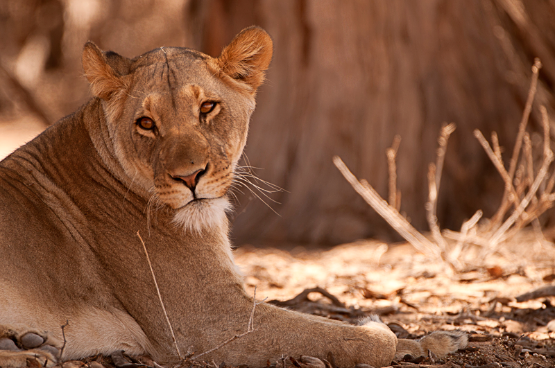 Lioness of the Kgalagadi by Nuria Blanco Arenas©